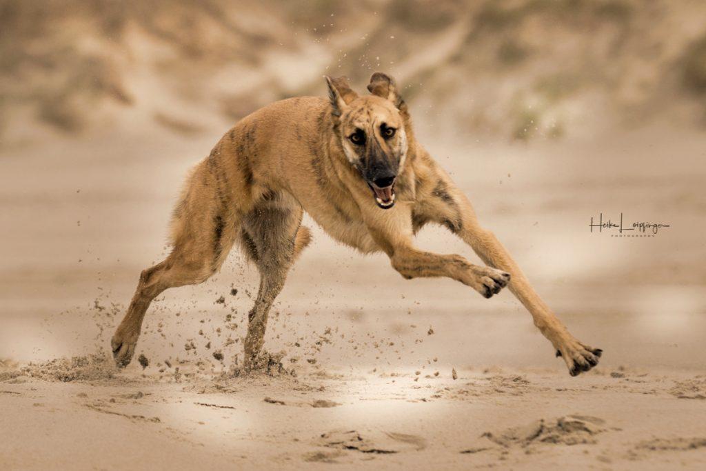 Tierfotografie Hund Texel