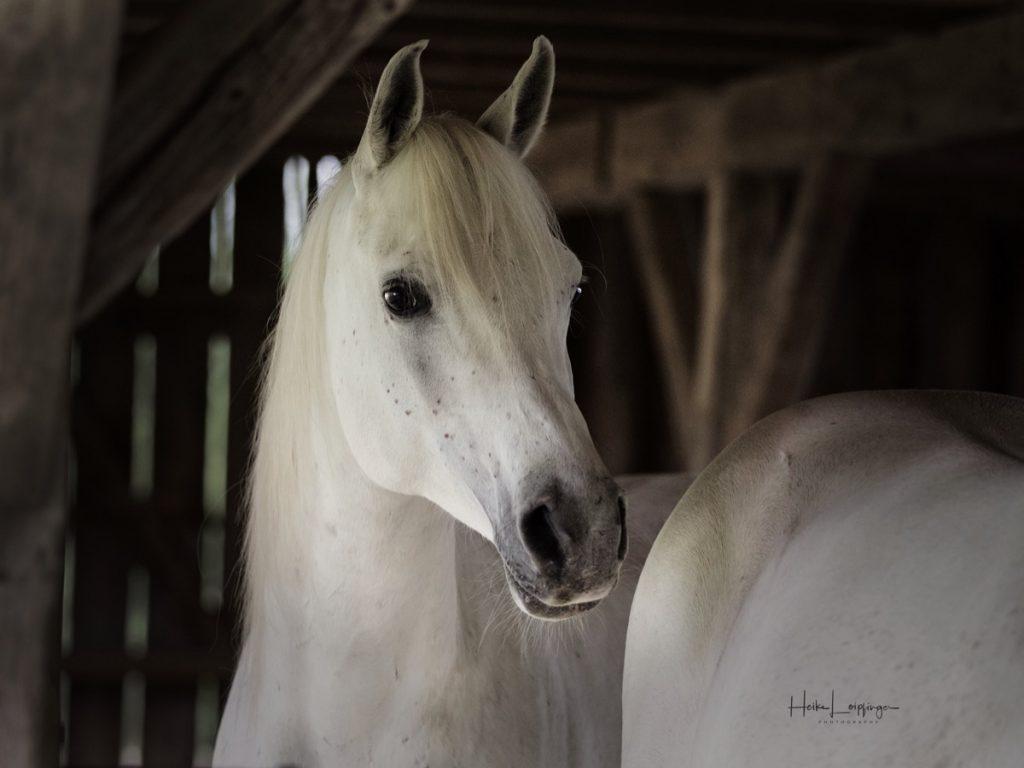 Tierfotografie Araber Offenstall