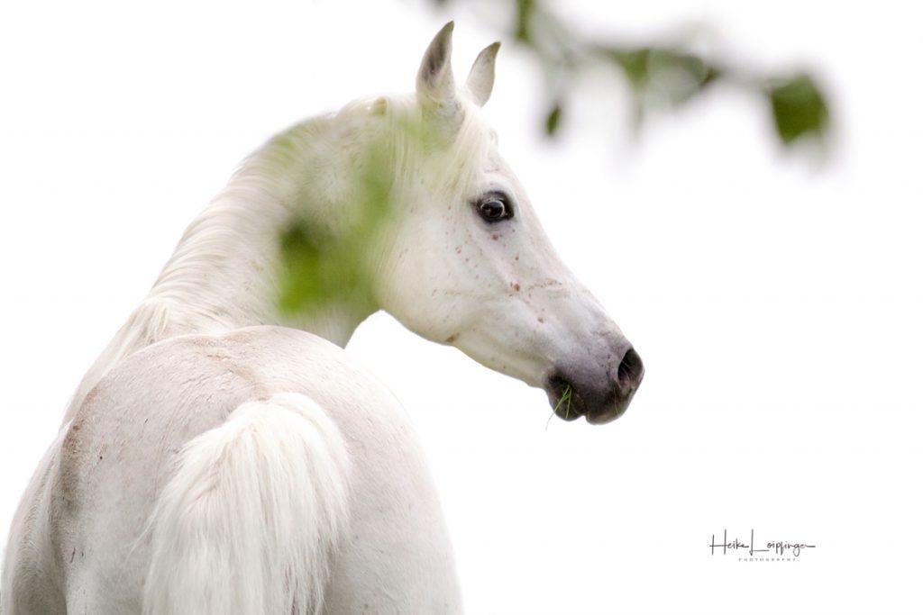 Tierfotografie Pferd Araber Aspach