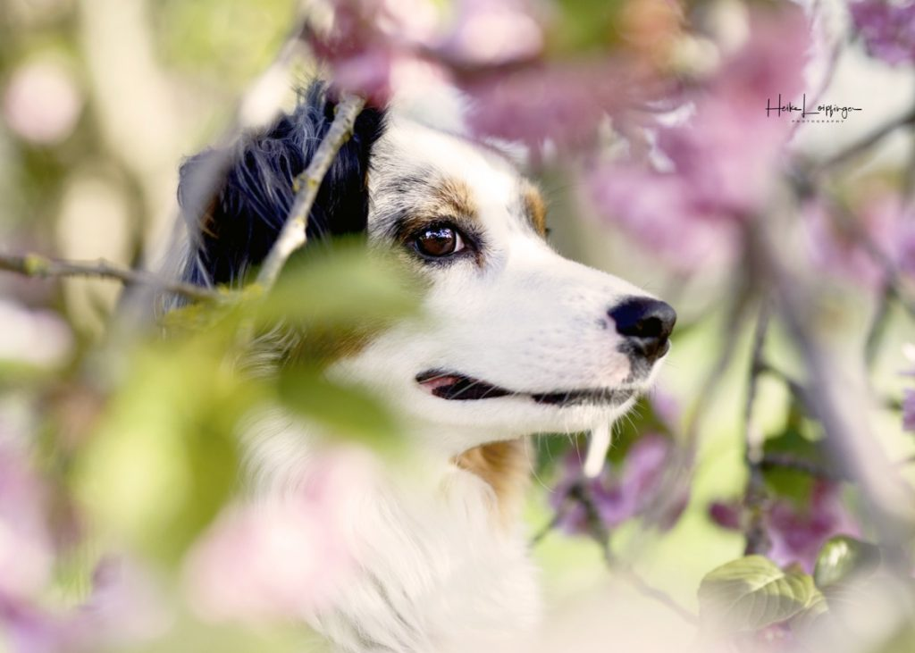 Tierfotografie Hund Kirschblüte Illingen