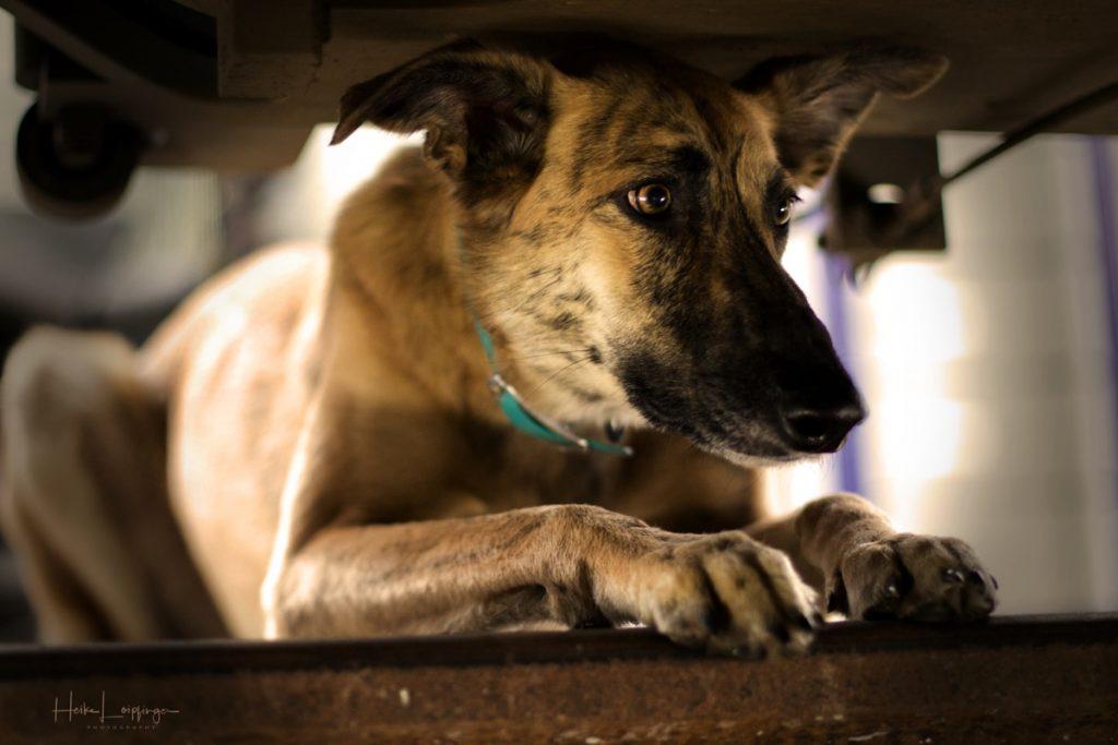 Tierfotografie Hund Zug Bahn Korntal