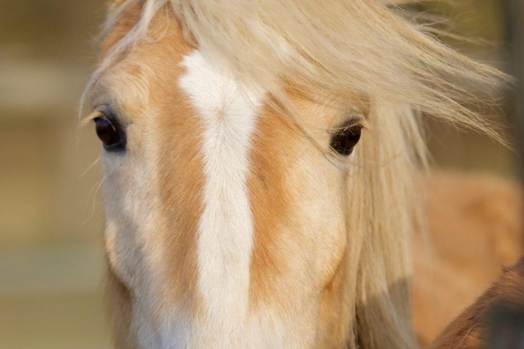 Tierfotografie Pferd Haflinger Ludwigsburg