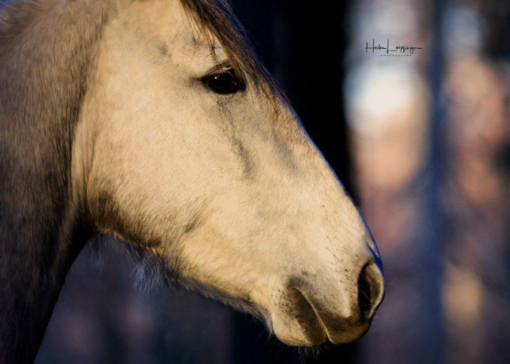 Tierfotografie Pferd Bietigheim