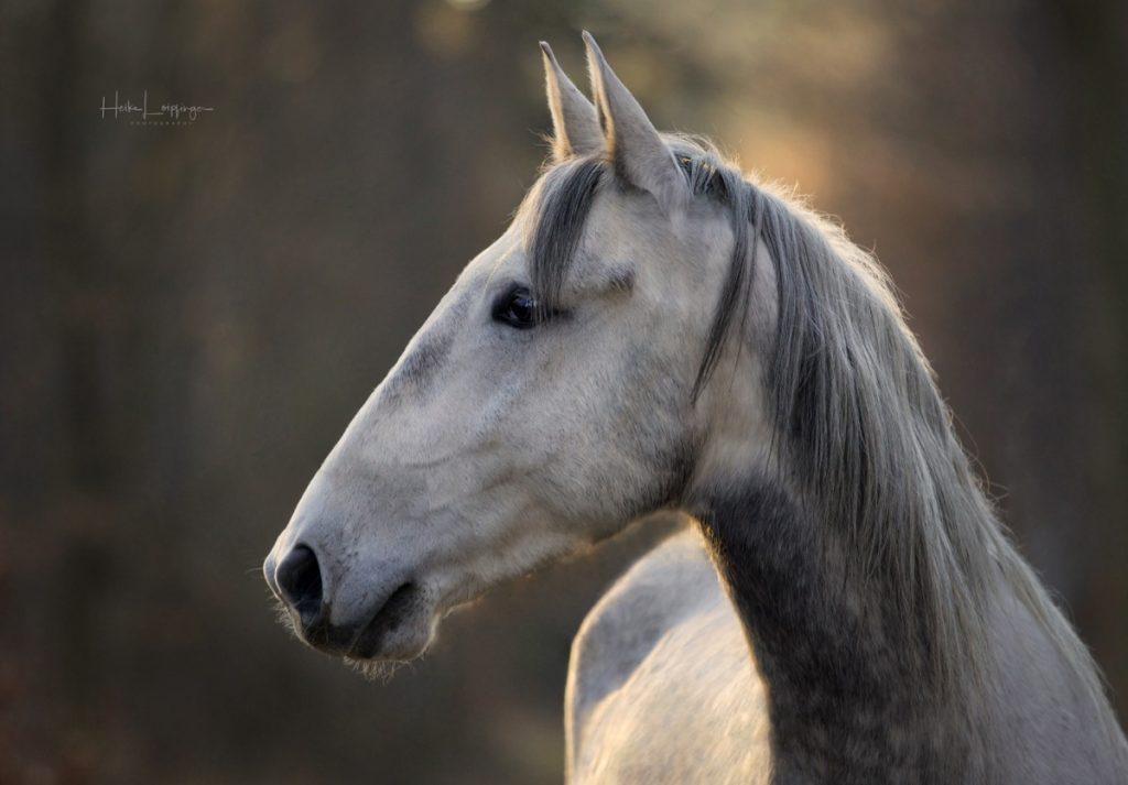 Tierfotografie Pferd Ludwigsburg Lucero