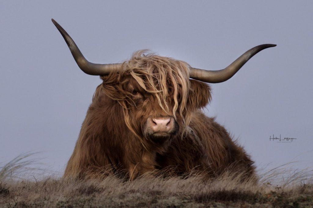 Tierfotografie Rind Texel