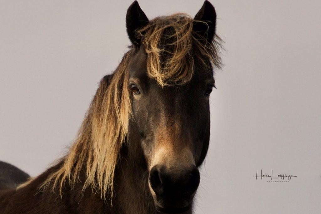 Tierfotografie Pferd Texel