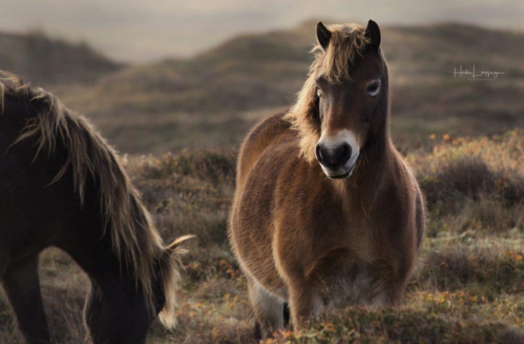 Tierfotografie Wildpferde Texel Holland