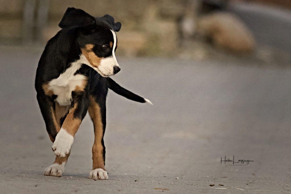 Tierfotografie Welpe Hund Korntal