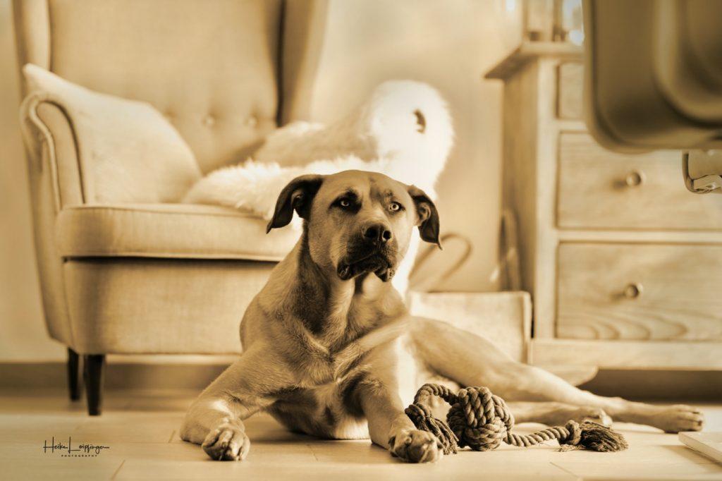 Tierfotografie Hund Leonberg