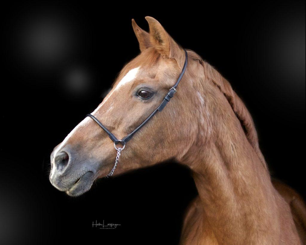 Tierfotografie Pferd Aidlingen
