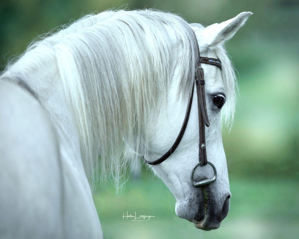 Tierfotografie Pferd Aspach