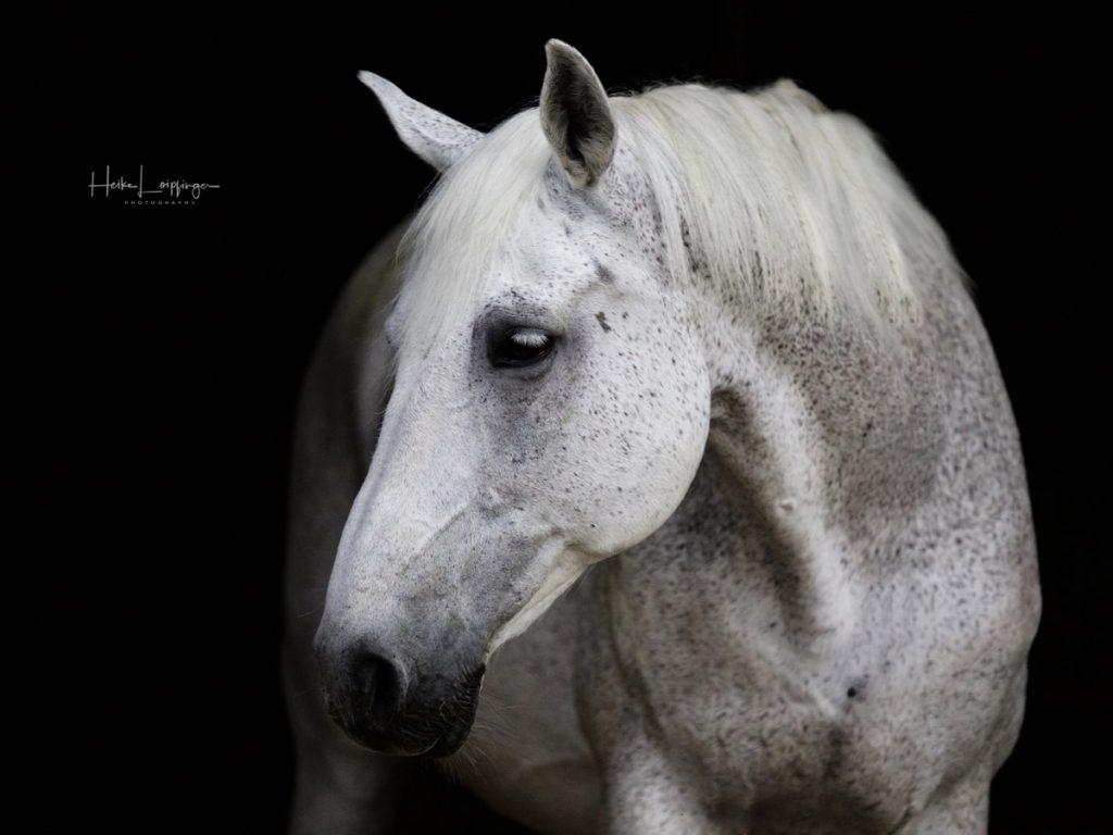 Tierfotografie Pferd Oberriexingen