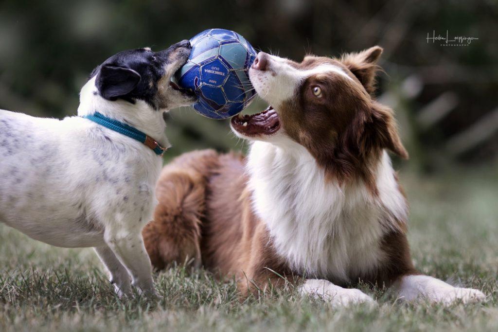 Tierfotografie Hund Ball Waldenbuch