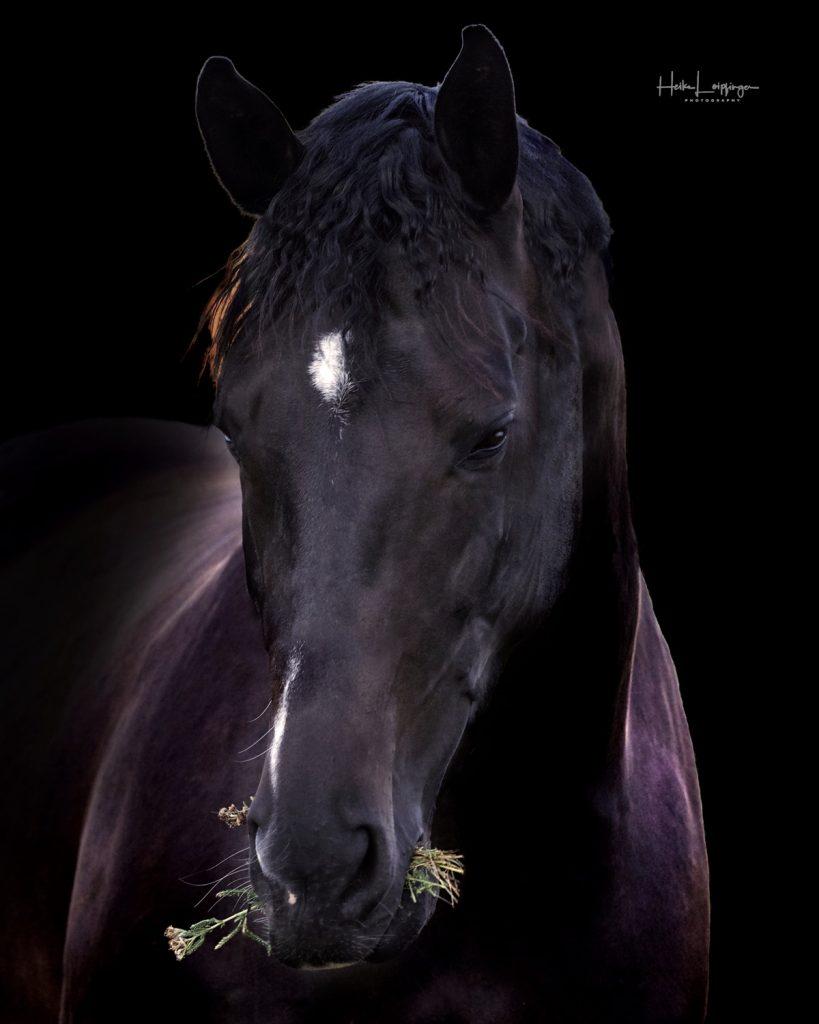 Tierfotografie Pferd Nussdorf