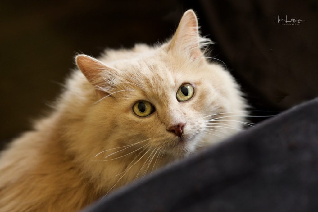 Tierfotografie sibirische Waldkatze Hohenhaslach