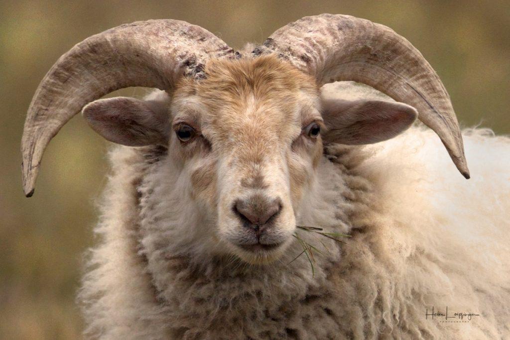 Tierfotografie Texel Schaf