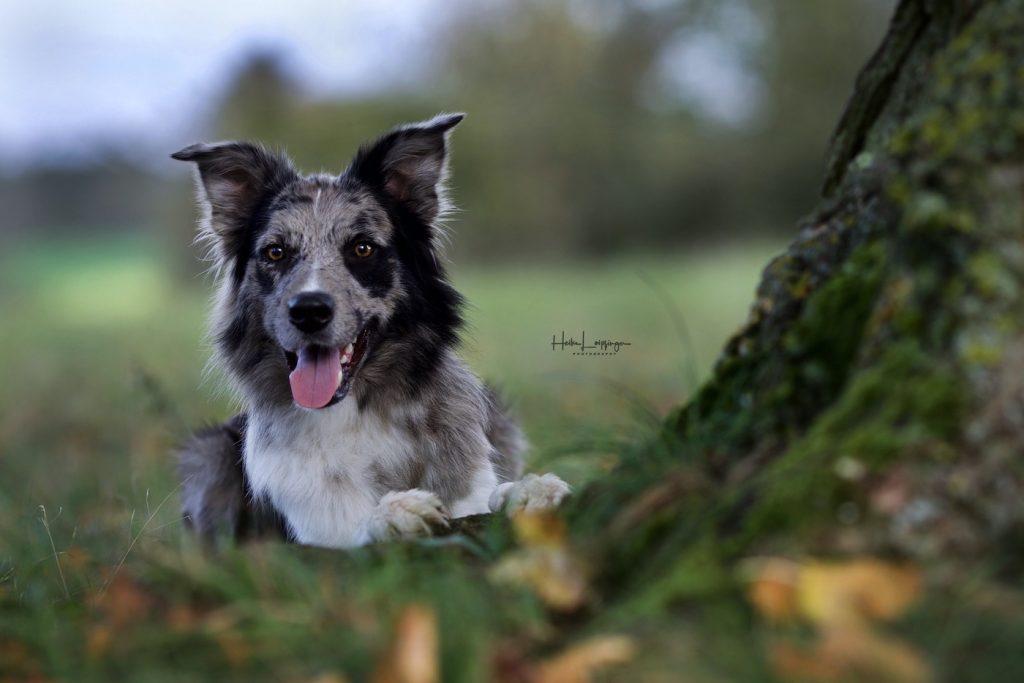 Tierfotografie Hund Flacht