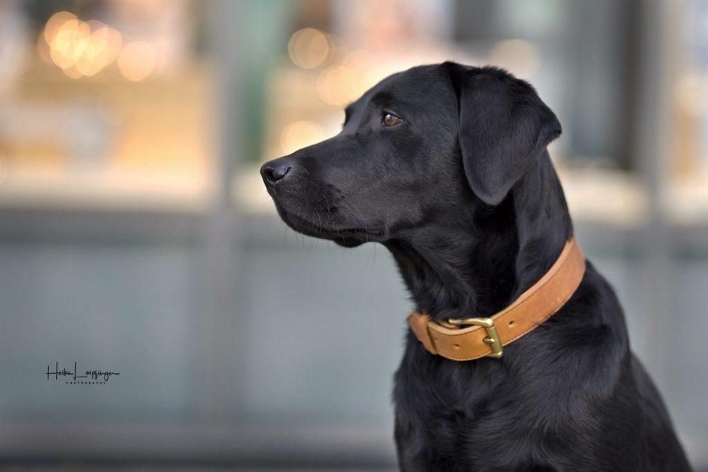 Tierfotografie Hund Labrador