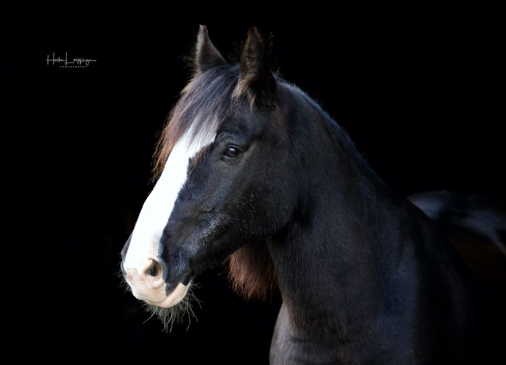 Tierfotografie Pferd Schützingen