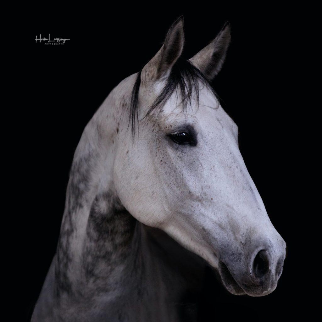 Tierfotografie Pferd Schwieberdingen