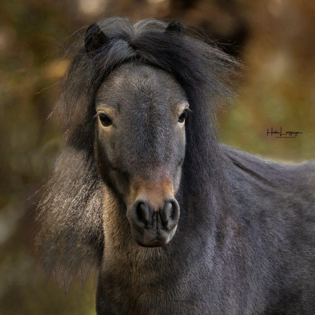 Tierfotografie Pony Oberriexingen