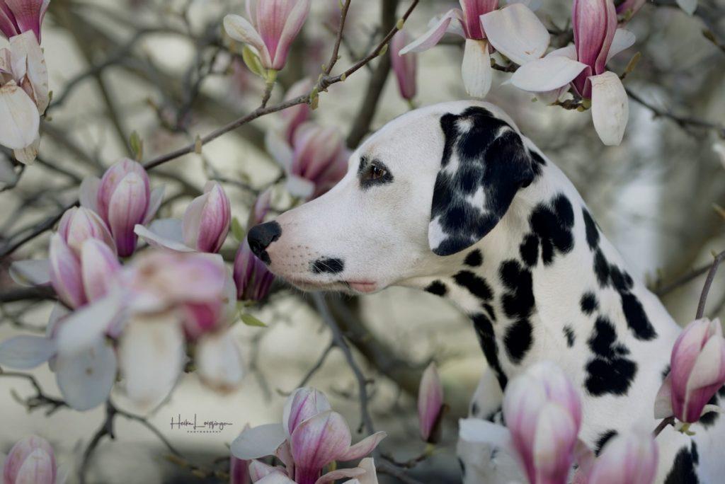 Tierfotografie Dalmatiner Magnolie