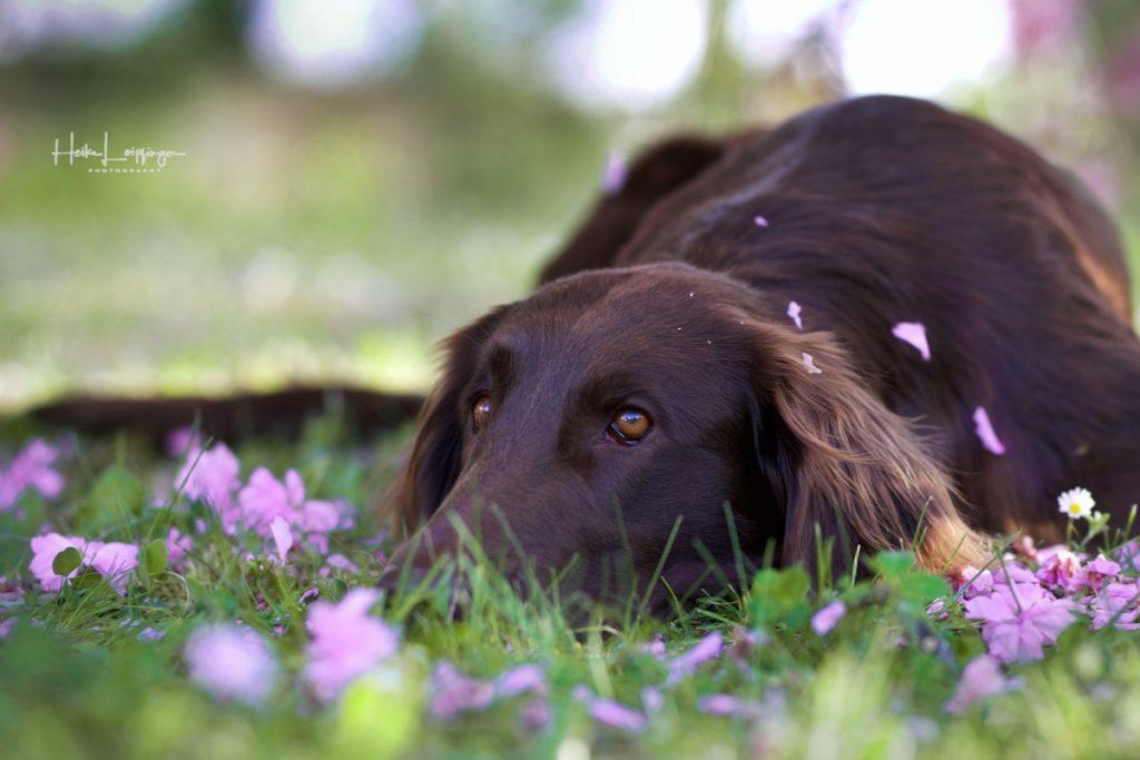 Tierfotografie Kirschblüten Hund