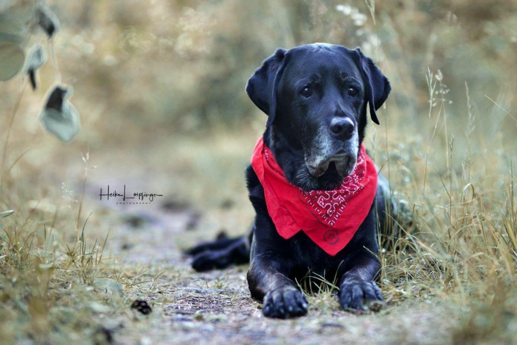 Tierfotografie Senior Labrador