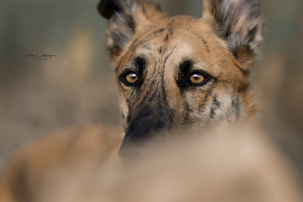 Tierfotografie Malinois Mix