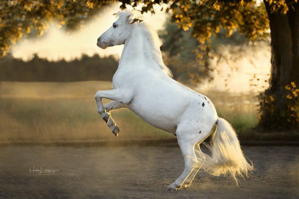 Tierfotografie steigendes Pferd Bietigheim
