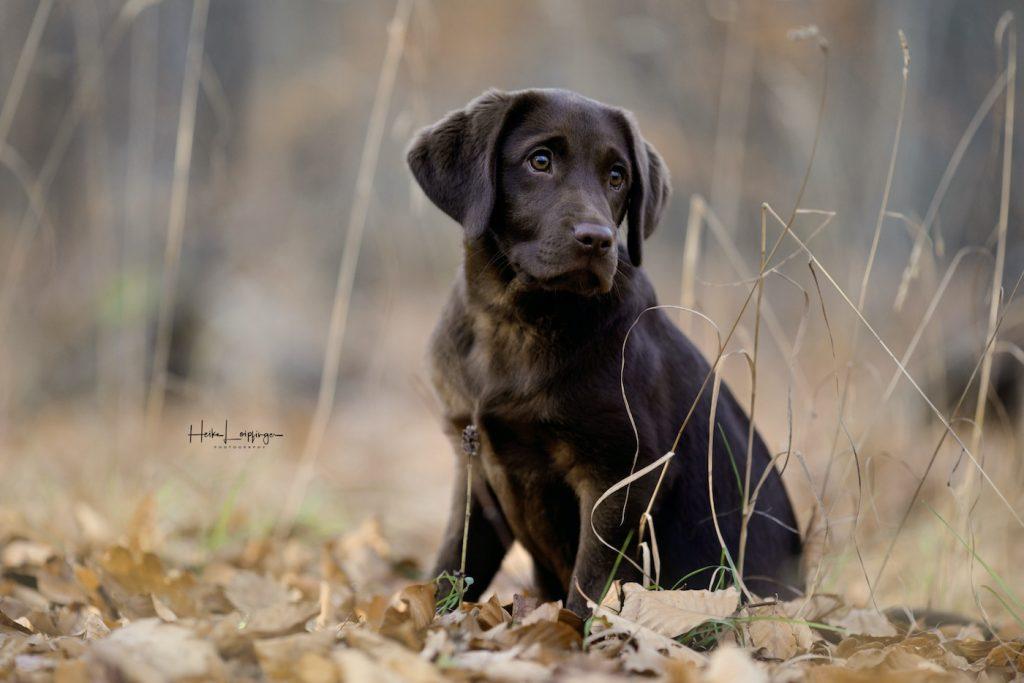 Tierfotografie-Herbst-Labrador