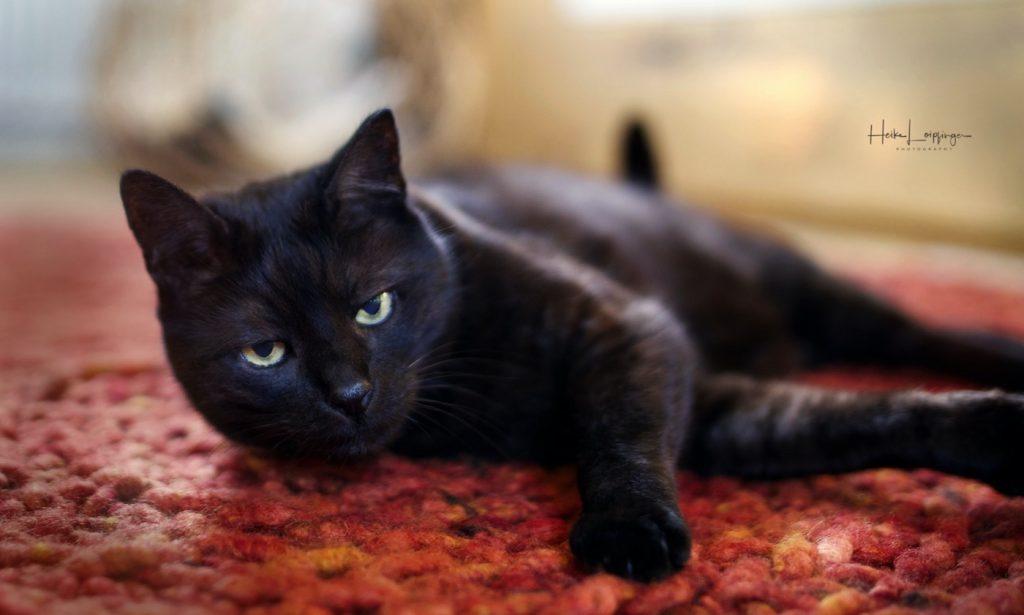 Tierfotografie-Katze-Höfingen