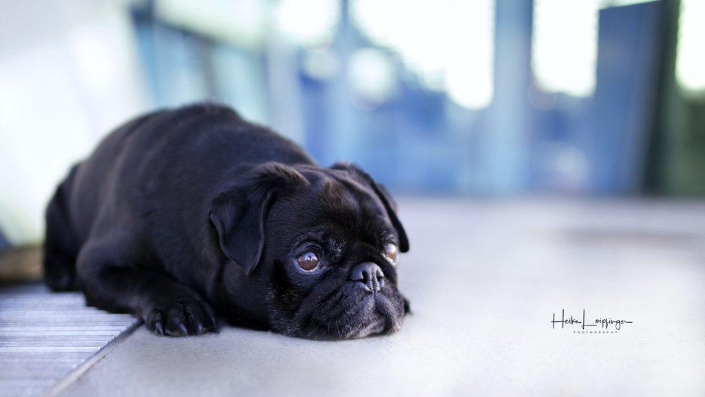 Tierfotografie-Mercedes-Benz-Museum-Hund